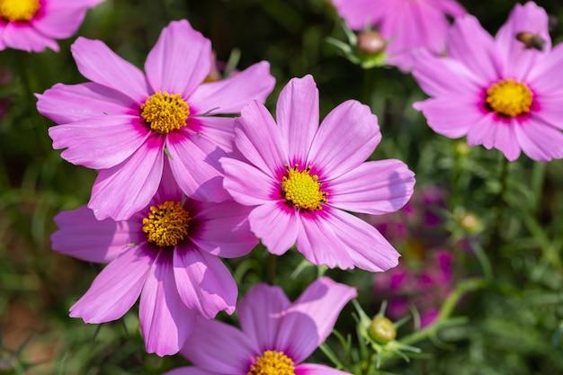 Kosmos Lub Meksykański Kwiat Aster W Ogrodzie Premium Zdjęcia