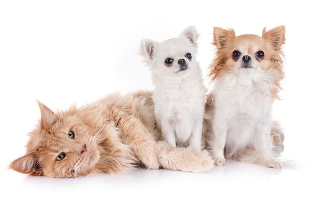 Kot Maine Coon I Chihuahua Premium Zdjęcia