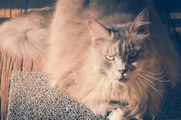 Kot z gniewną twarz Darmowe Zdjęcia
