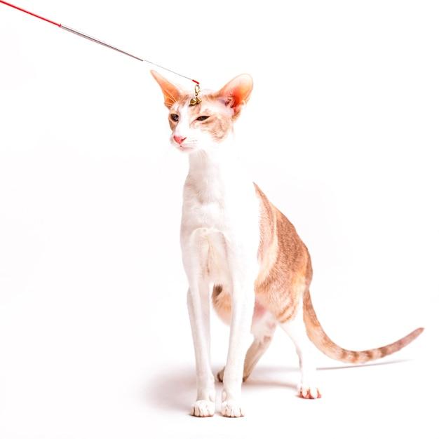 Kot Zabawki Doodle Na Cornish Rex Kota Głowie Na Białym Tle Zdjęcie