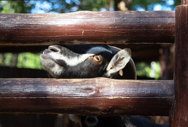Koza Stoi Przy Drewnianym Płocie, Prosi O Jedzenie Premium Zdjęcia