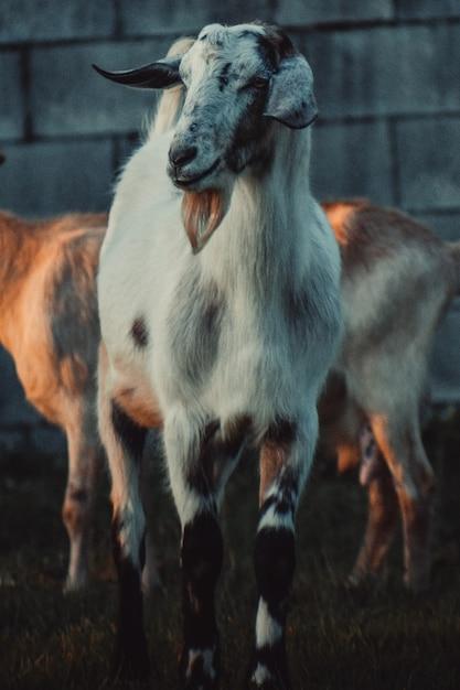 Koza Za Innymi Przed ścianą Darmowe Zdjęcia