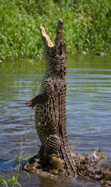Krokodyl Kubański Wyskakuje Z Wody. . Kuba. Premium Zdjęcia