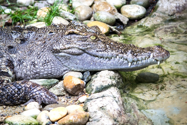Krokodyl Syjamski Premium Zdjęcia