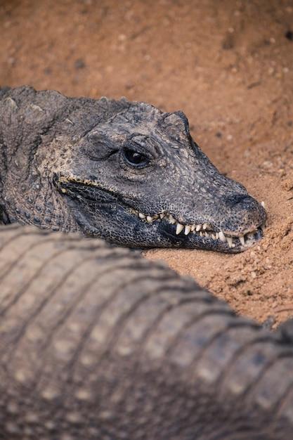 Krokodyl Darmowe Zdjęcia