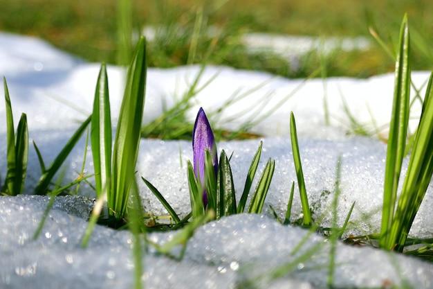 Krokus Kwiat I Zielona Trawa W śniegu. Kwiaty W śniegu. Wiosna Premium Zdjęcia