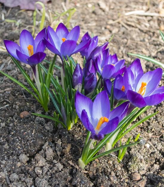Krokusy Kwitnące W Ogrodzie Botanicznym Premium Zdjęcia