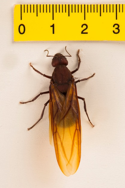 Królowa Mrówek, Skrzydlata Mrówka Premium Zdjęcia