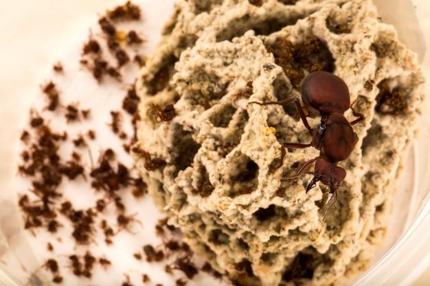 Królowa Mrówek W Gnieździe Premium Zdjęcia