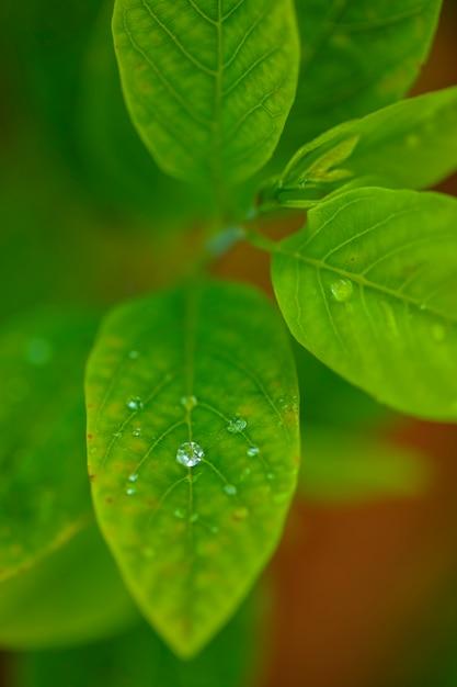 Krople Przezroczystej Wody Deszczowej Na Makro Zielony Liść Premium Zdjęcia