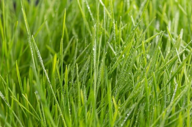Krople Rosy Na Zielonej Trawie. Premium Zdjęcia