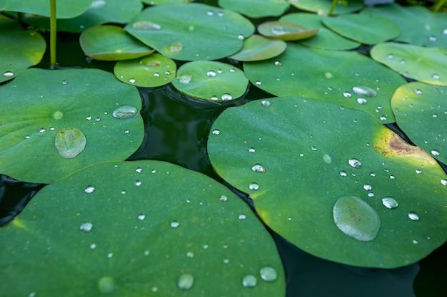 Krople wody na liściu lotosu Premium Zdjęcia