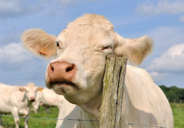Krowa Ociera Się O Tyczkę Premium Zdjęcia