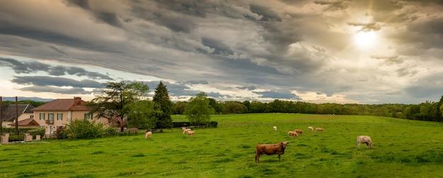 Krowy I Groźne Zachmurzone Niebo. Groźne Chmury Nad Krajobrazem Premium Zdjęcia