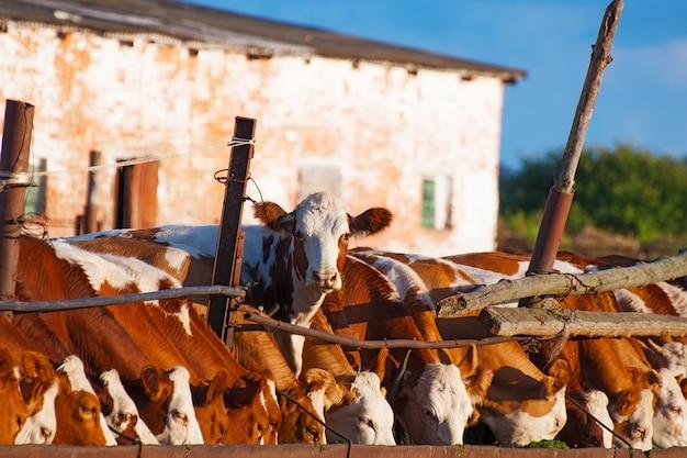 Krowy Jedzą Kiszonkę Premium Zdjęcia