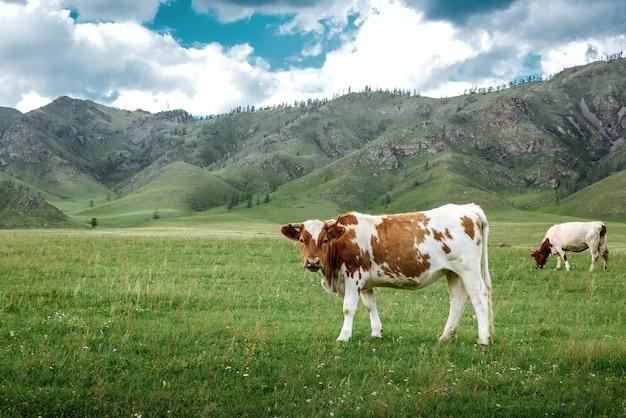 Krowy Pasą Się Na Ekologicznych łąkach Na Tle Górskiego Krajobrazu I Nieba Z Chmurami Premium Zdjęcia