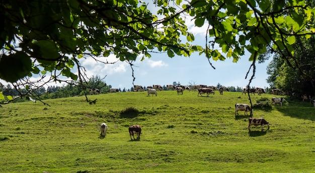 Krowy Pasące Się Na Pastwiskach Alp Premium Zdjęcia