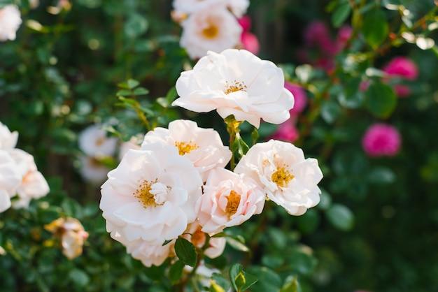 Krzaczasta Bladoróżowa Róża W Ogrodzie Premium Zdjęcia