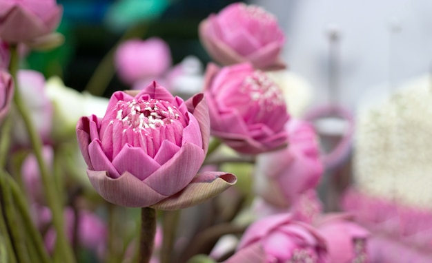 Krzak Różowego Lotosu Dla Szacunku Dla Buddy Lub Hinduskiego Premium Zdjęcia