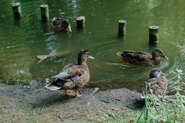 Krzyżówka nurkuje blisko stawu z zieloną wodą Premium Zdjęcia