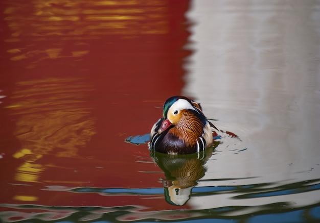 Krzyżówka Z Kolorowymi Piórami Pływającymi W Jeziorze Z Odbiciem Otoczenia Darmowe Zdjęcia