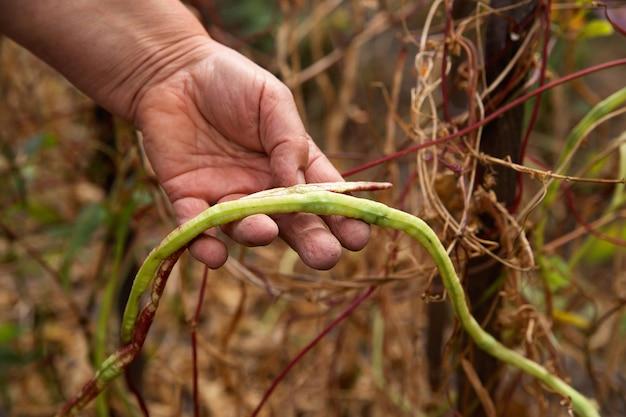 Kupie żółte Fasolki Szparagowe W Rękach Rolnika Premium Zdjęcia