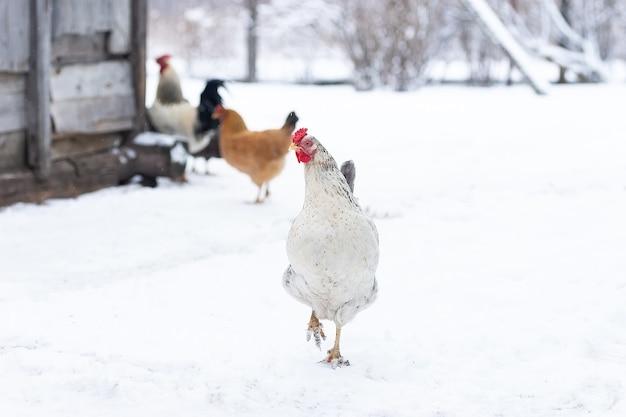 Kurczak Z Wolnego Wybiegu żeruje, Gdy Zimą Pada Lekki śnieg Premium Zdjęcia