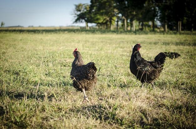 Kurczaki W Terenie Darmowe Zdjęcia