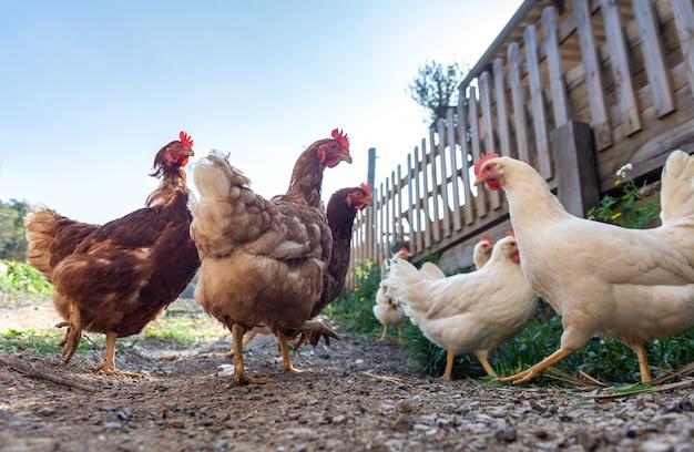 Kury Hodowane Swobodnie I Karmione żywnością Ekologiczną Premium Zdjęcia
