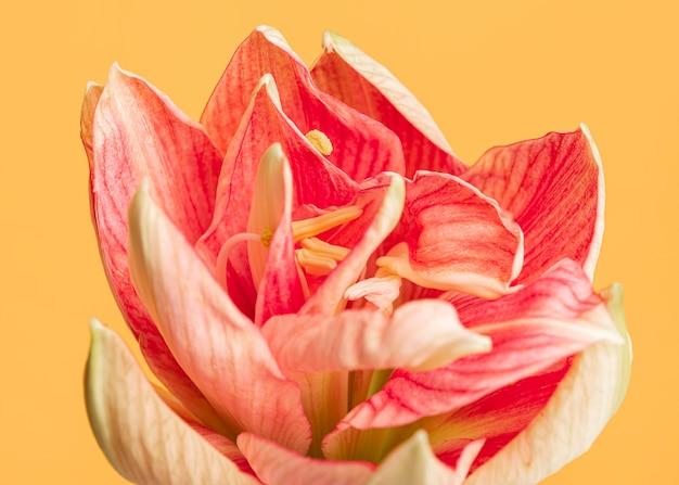 Kwiat Brzoskwiniowy Dość Makro Premium Zdjęcia