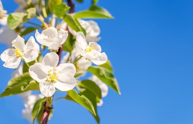 Kwiat Jabłoni. Biała Wiosna Kwitnie Zbliżenie. Skopiuj Miejsce. Premium Zdjęcia