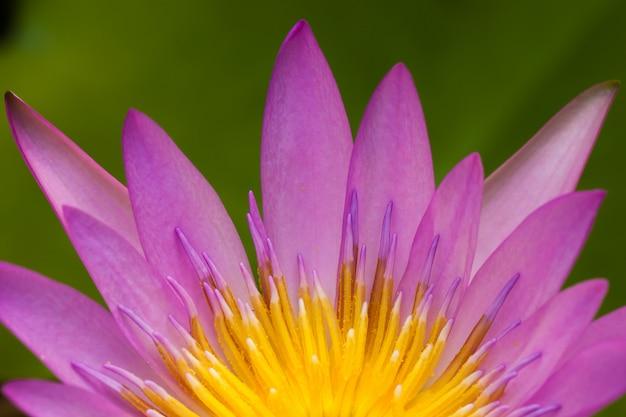 Kwiat lotosu kwiat z bliska Premium Zdjęcia