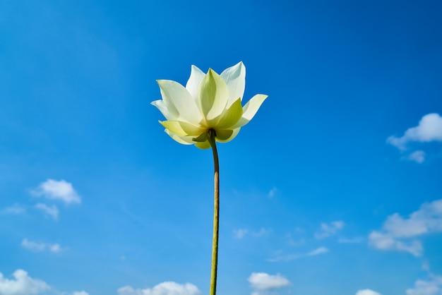 Kwiat Lotosu Darmowe Zdjęcia