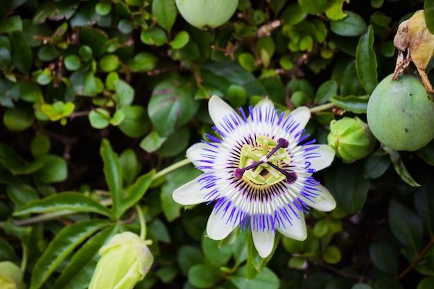 Kwiat Męczennicy W Tle Roślin Pnących. Kwitną Letnie Kwiaty. Premium Zdjęcia