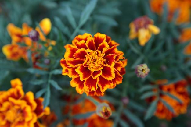 Kwiat nagietka tło Premium Zdjęcia