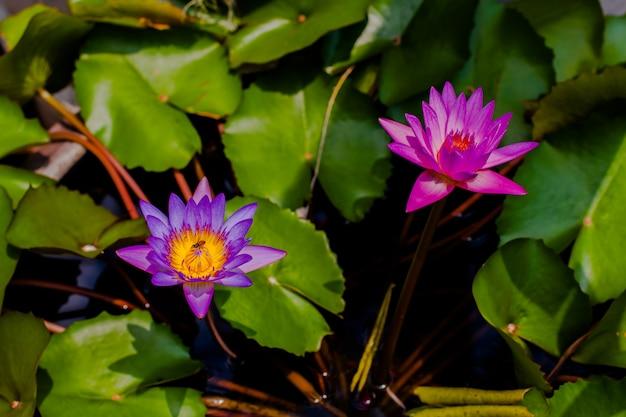 Kwiat nam w stawie Premium Zdjęcia
