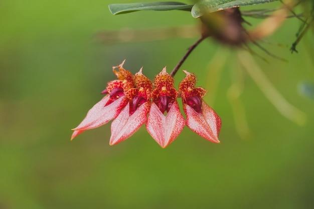 Kwiat Orchidei Bulbophyllum Z Pomarańczowym Płatkiem Kwitnącym W Tropikalnym Ogrodzie Premium Zdjęcia