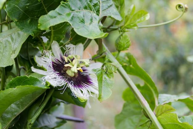 Kwiat Pasji Premium Zdjęcia