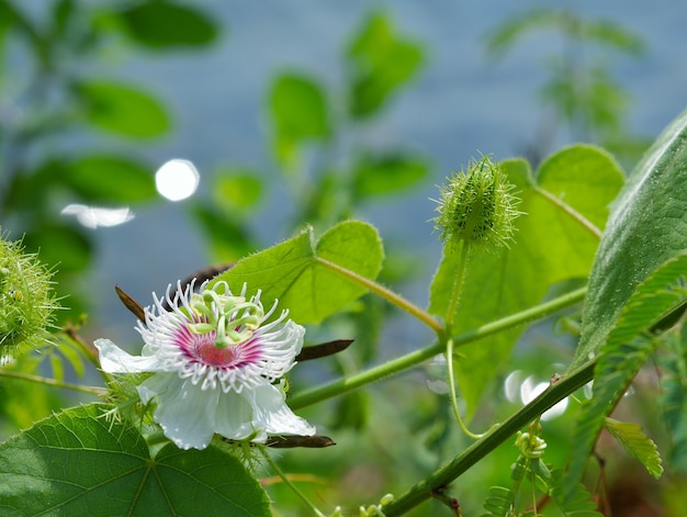 Kwiat Passiflora Foetida Owoc Premium Zdjęcia