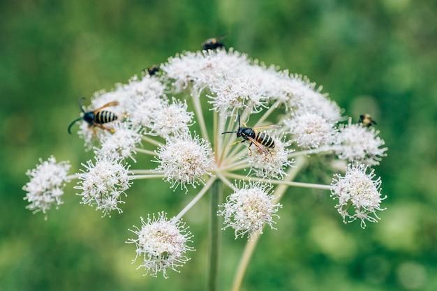 Kwiat Rośliny Leczniczej Angelica Archangelica Z Pszczołami Premium Zdjęcia