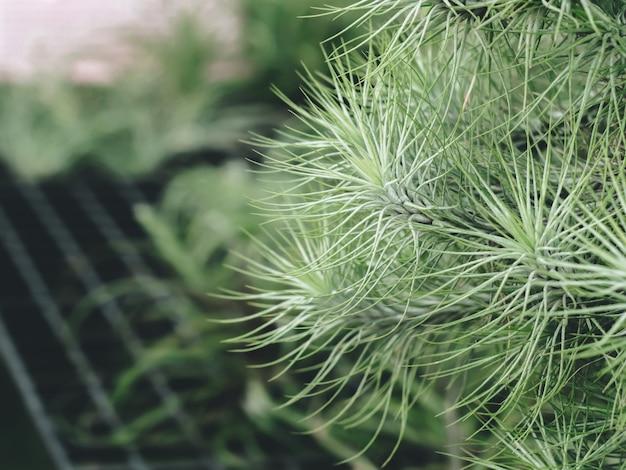 Kwiat Waty Cukrowej Tillandsia (bromeliad) Z Zielonym Ogrodem, Unikalną Rośliną Premium Zdjęcia