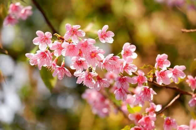 Kwiat Wiśni Premium Zdjęcia