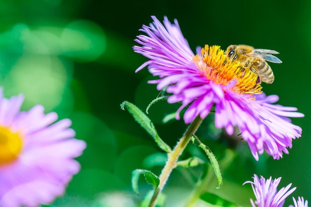 Kwiat Z Pszczołą Zbierającą Nektar. Premium Zdjęcia