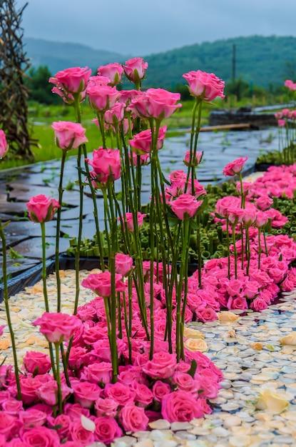 Kwiatowy Układ Różowych Róż Na Alei Premium Zdjęcia