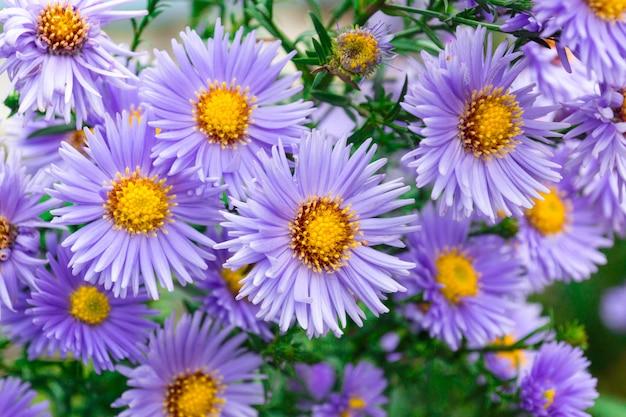 Kwiaty Astry W Ogrodzie Premium Zdjęcia