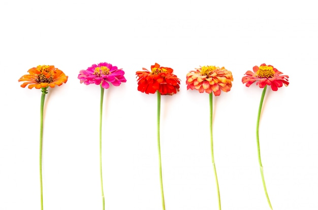 Kwiaty Cynia Premium Zdjęcia