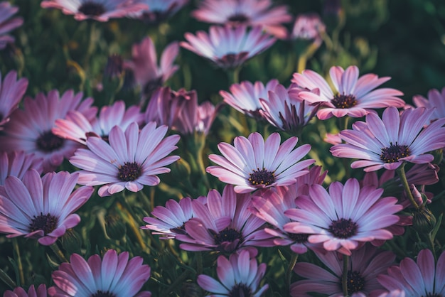 Kwiaty Fioletowej Stokrotki Afrykańskiej Premium Zdjęcia