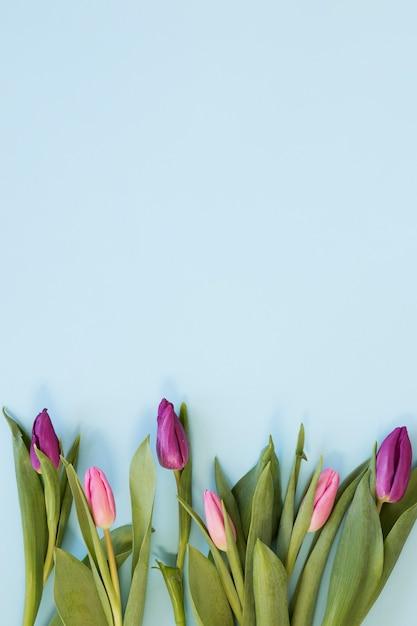 Kwiaty Gradientu Różowy Tulipan Przygotowania Na Tle Niebieskiego Nieba Darmowe Zdjęcia