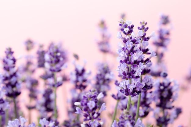 Kwiaty Lawendy. Premium Zdjęcia