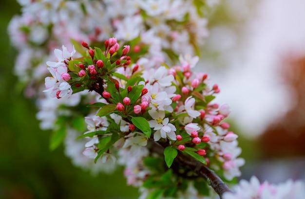 Kwiaty na gałąź w wiośnie, jabłoń. Premium Zdjęcia